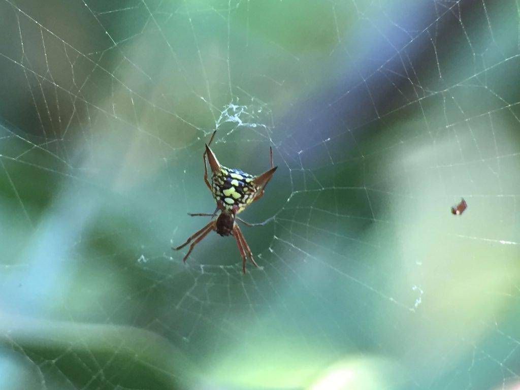 Spider, Costa Rica
