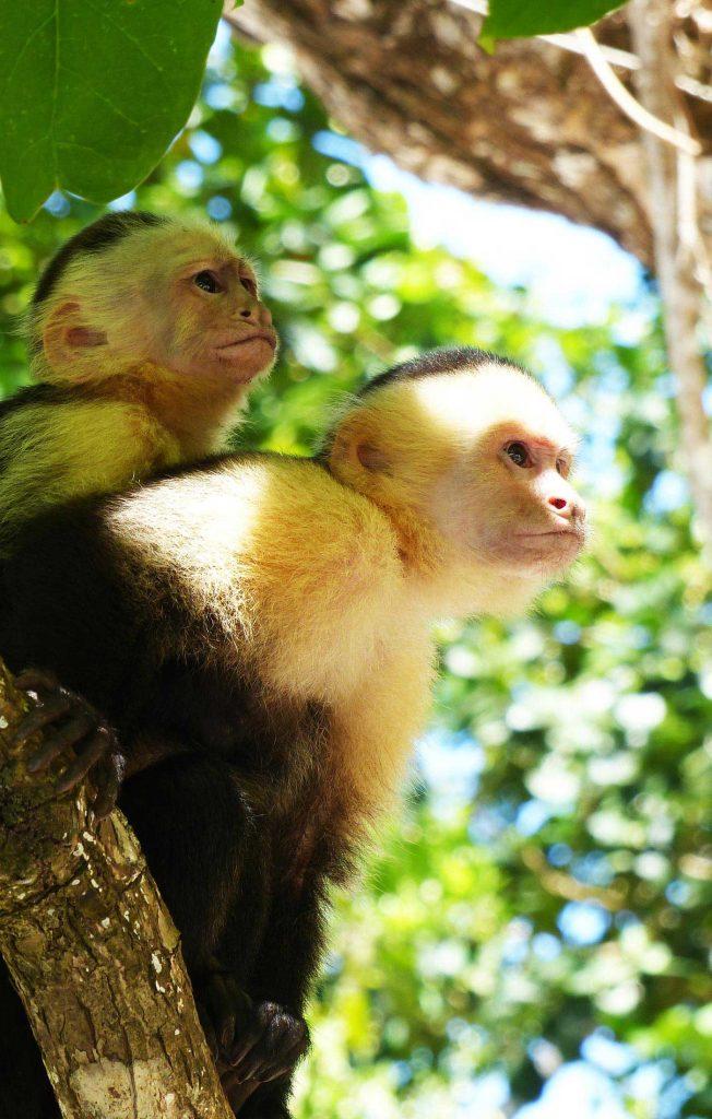 Capochin Monkeys