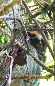 The 'smiling' face of a Sloth can just be made out through the branches of a tree, Costa Rica