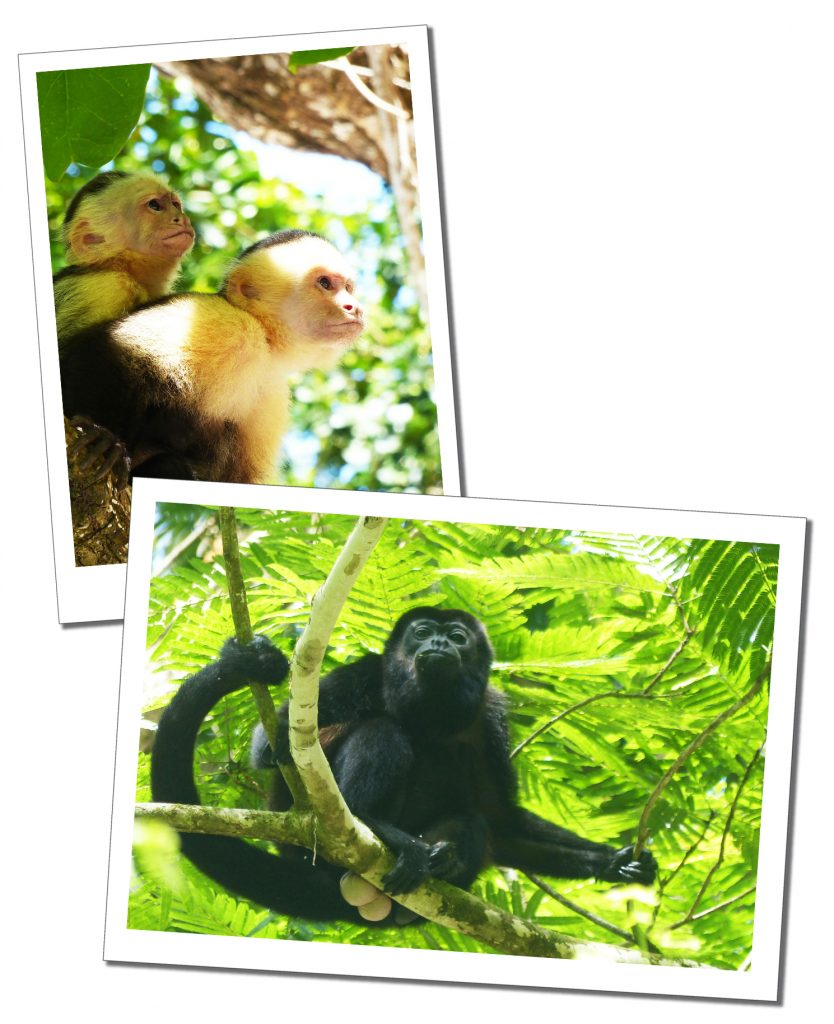 Two cheeky Capuchins and one noisy Howler Monkey, in the trees of Costa Rica
