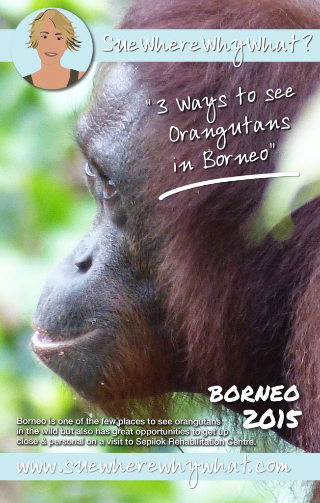 Orangutans face, Borneo