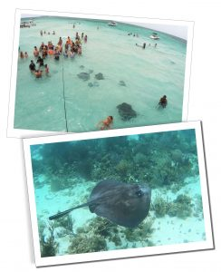 Majestic Sting Rays, glide among tourists at Sting Ray City, Grand Cayman, Caribbean