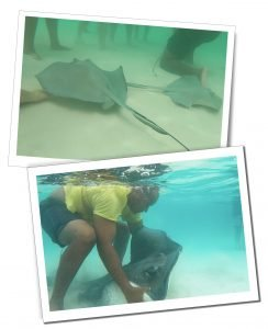 Majestic Sting Rays, glide among the feet of tourists at Sting Ray City, Grand Cayman, Caribbean