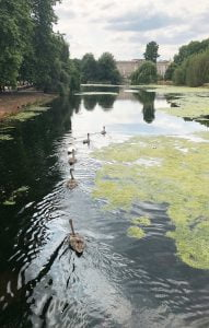 Swans and signets on the water behind Buckingham Palace, UK