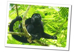 A black howler Monkey looking down from a leafy green tree on the Costa Rican Coast
