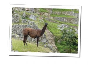 A Brown Llama stands looking at the camera, Machu Picchu, Peru