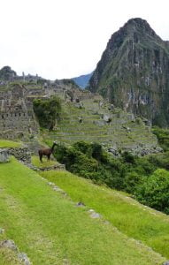 A Llama on the Steps of Machu Picchu