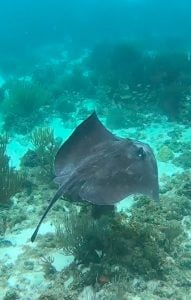 Stingray underwater, Grand Cayman