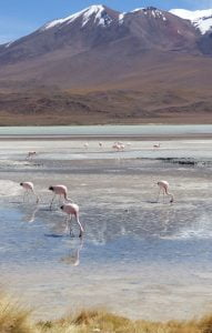 Pink Flamingoes grazing in the water at Laguna Hedionda, Bolivia