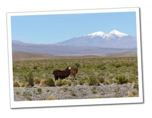 2 brown Llamas on The Plains, Bolivia