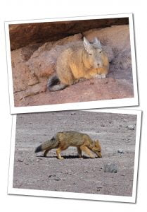 A sleepy Vizcacha and an inquisitive Andean Fox sniffing the ground, Bolivia Salt Flats