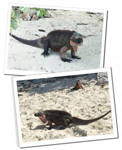 Iguanas on the beach, Allens Cay, Bahamas, Best of the Bahamas