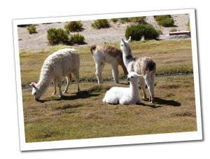 4 Llamas grazing by a river outside La Paz, Bolivia