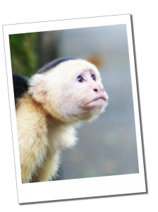 A Capuchin Monkey in Tortuguero National Park, Costa Rica