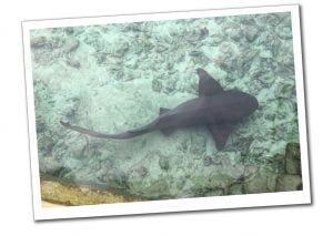 Shark on Sea bed at Staniel Cay, Best of the Bahamas