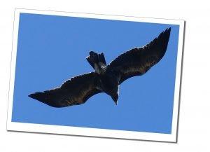 A Hawk flying over Nancy Peak, Porongurup NPin Western Australia