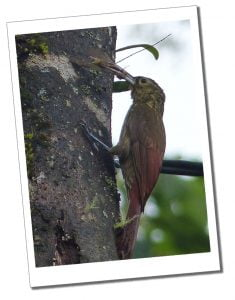 Bird feeding on a Moth, Mindo Equador