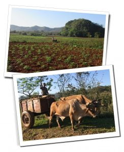 Farmers and Bulls working the fields, pulling carts and ploughs along the route of the Sunrise Hike, Viñales, Cuba