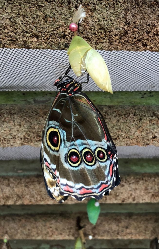 Butterfly cocoon, Ecuador