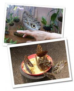 Many butterflies feeding, Mindo Ecuador