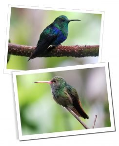Hummingbirds, Birdwatch, Mindo, Ecuador