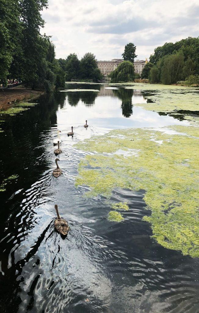 Swans, St.James' Park, London
