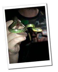 Green snake, Nightwalk, Mindo Ecuador