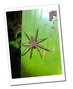 A Spider on a leaf, Nightwalk, Mindo Ecuador