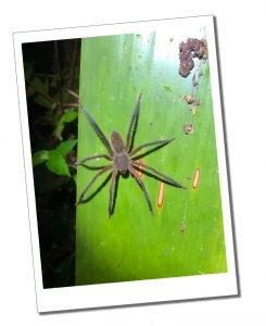 A Spider on a leaf, Nightwalk, Mindo Ecuador