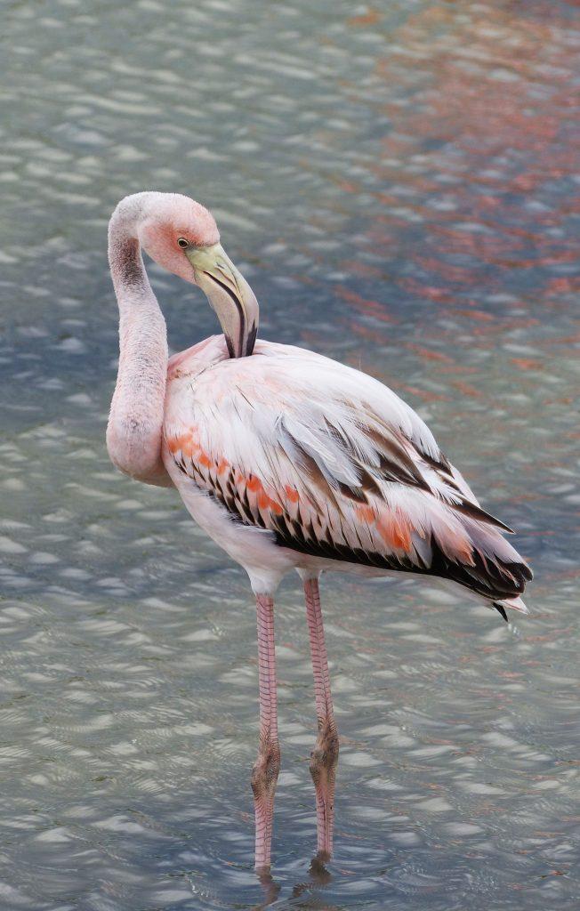 Santa Cruz, Flamingo