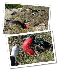 Genovesa-Frigate-Bird, Galápagos Islands, Ecuador.
