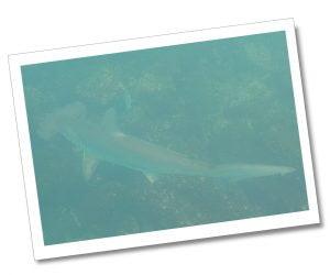 Snorkelling, Genovesa Island Hammerhead Shark, The Galápagos Islands, Ecuador