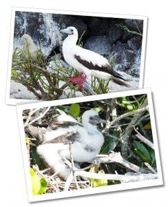 Santa Cruz, Genovesa Red Footed Booby & baby, Galápagos Islands, Ecuador