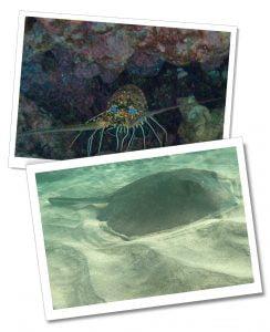 Snorkelling, Santiago Lobster & Sting Ray, the Galápagos Islands, Ecuador