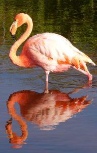 Flamingo, Isabela Island, The Galápagos Islands