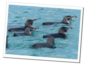 Isabela-Elizabeth-Bay-Penguins