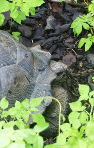 Giant Tortoise, Isabela Island