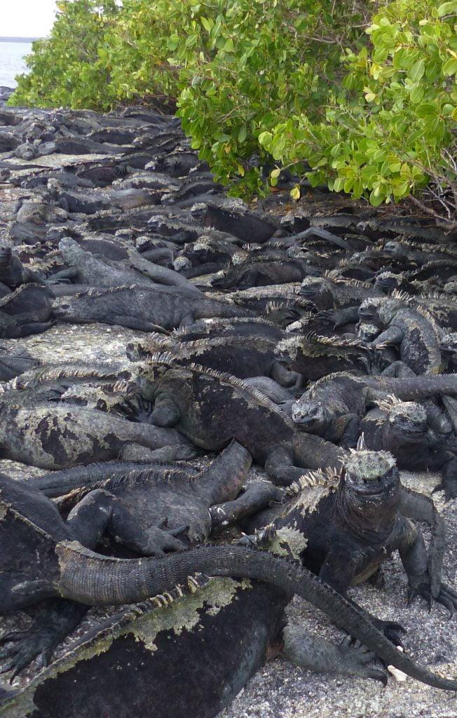 Marine Iguanas, Fernandina Island, The Galápagos Islands
