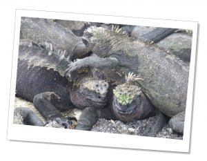 Fernandina-Punta-Espinoza-Marine-Iguanas