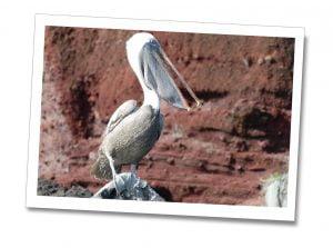 Buccaneer-Cove-Pelican, Galápagos Islands, Ecuador.