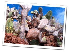 Rabida, Red Beach, Cactus, Galápagos Islands, Ecuador
