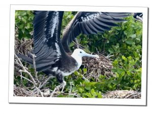 A Nesting Frigate Bird at the Sanctaury, Barbuda, A Day Trip To Barbuda – Reasons Not To Miss