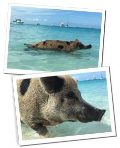Swimming Pigs at Big Majors Spot, Best of the Bahamas