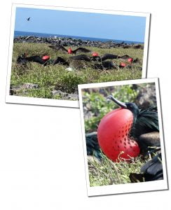 Male Frigate Birds nesting, Barbuda, A Day Trip To Barbuda – Reasons Not To Miss