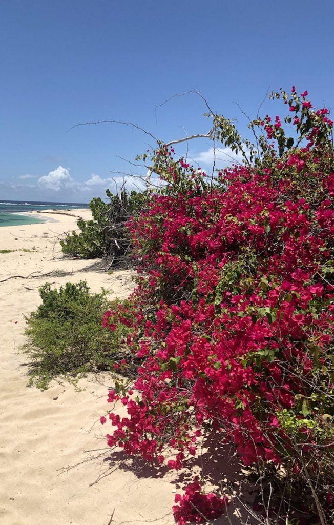 Red flowering bush, two foot bay, Barbuda