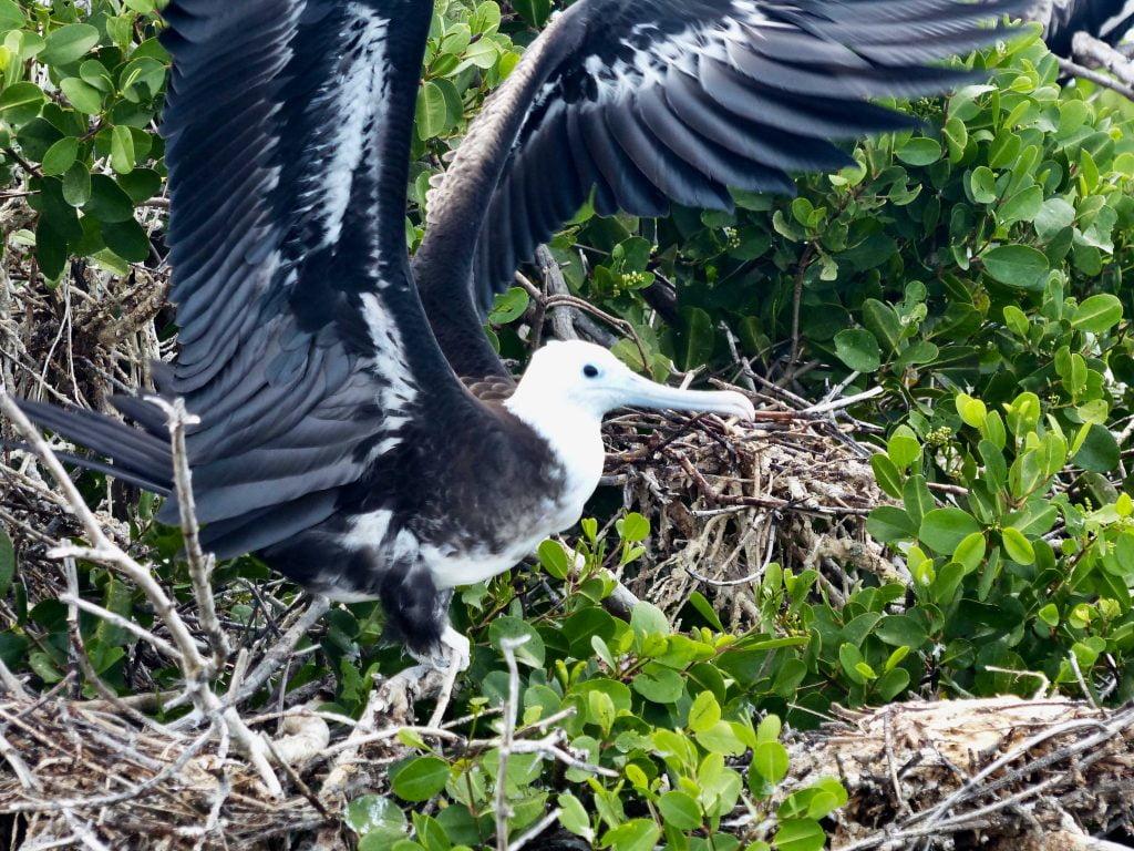 Frigate Bird Sanctuary, Barbuda