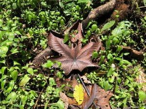 Giant leaf. Mindo, Ecuador