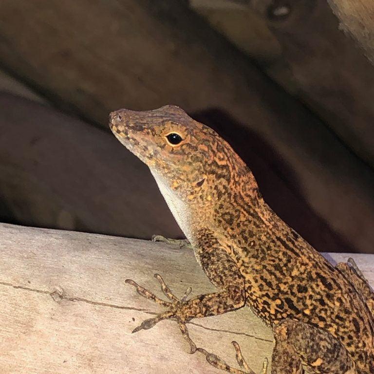 Mero Beach, Lizard