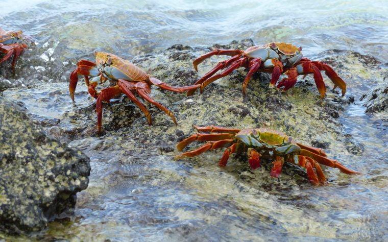 Sally Light Foot Crab, Galápagos
