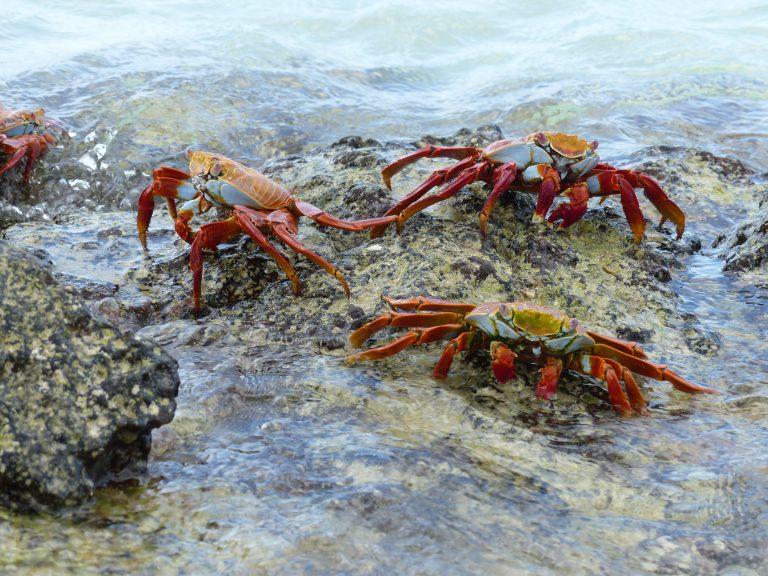 Sally Lightfoot Crabs, Santa Cruz, Galápagos, Ecuador